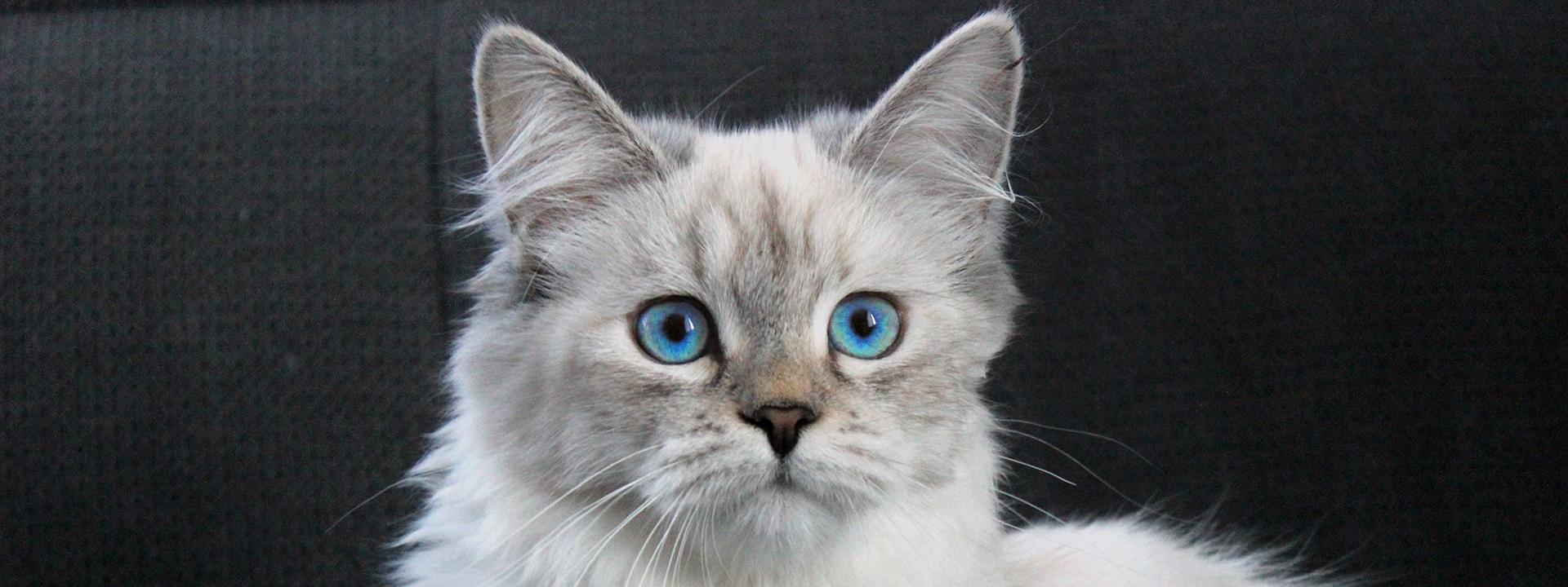 Royal Pink Paws - Sibirischen Katze und Neva Masquarade Zucht