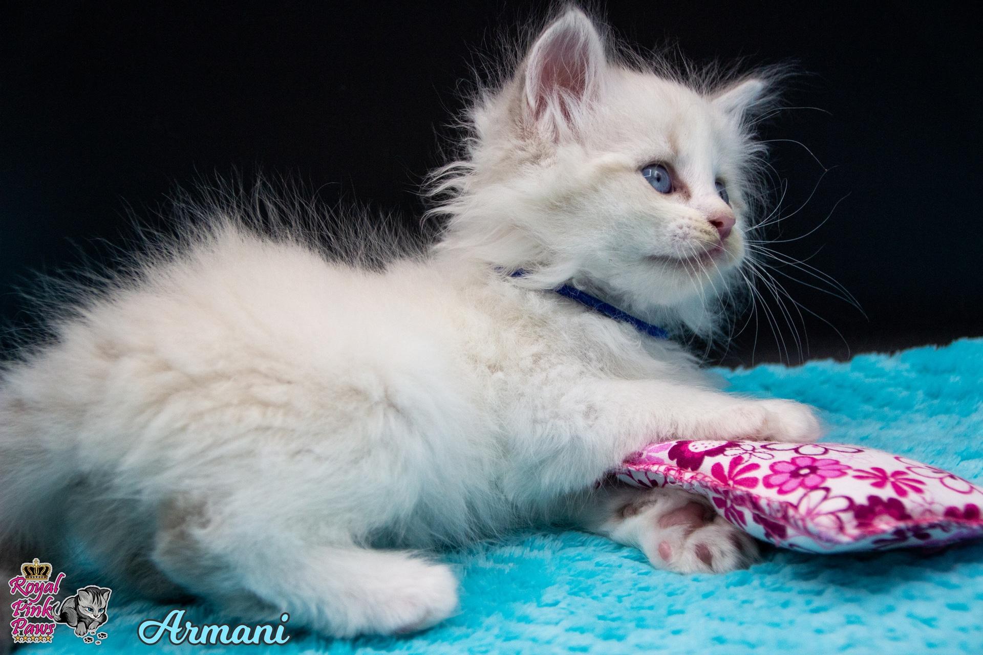 Neva Masquarade - Armani Royal Pink Paws
