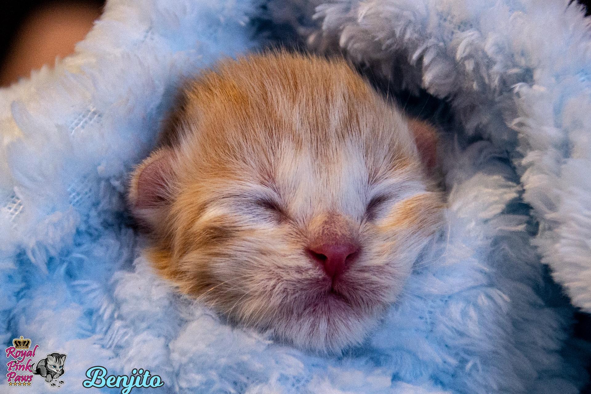 Sibirische Katze - Benjito Royal Pink Paws
