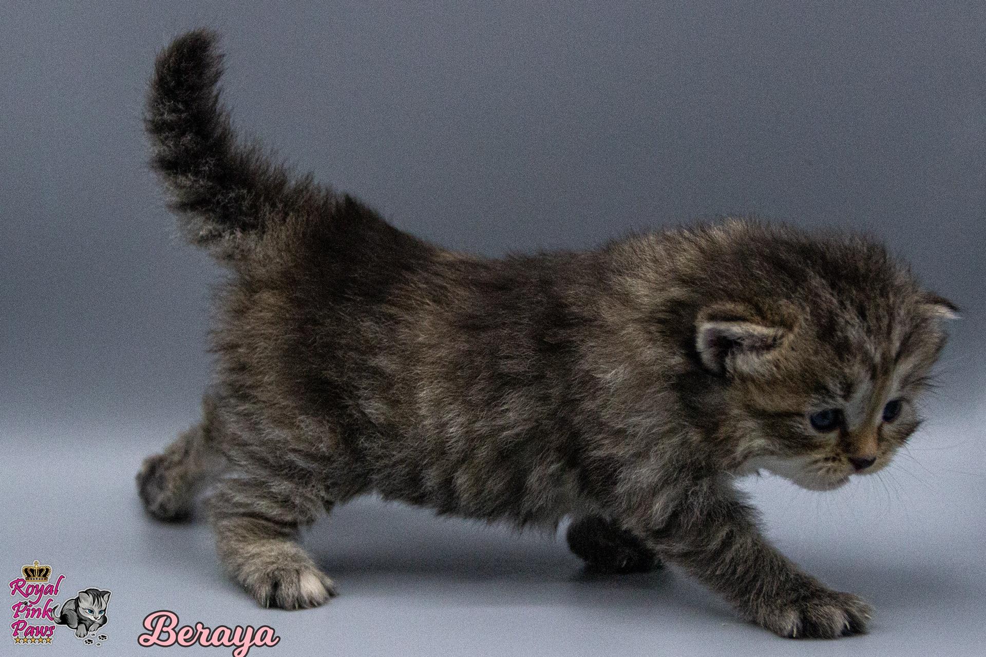 Sibirische Katze - Beraya Royal Pink Paws