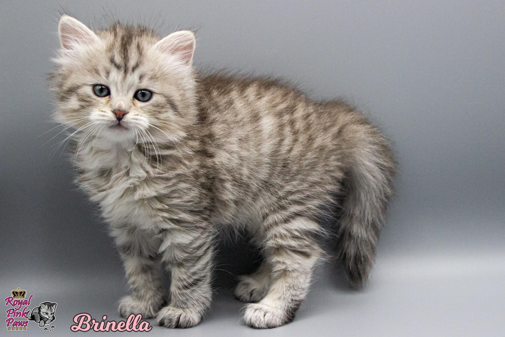 Sibirische Katze - Brinella Royal Pink Paws