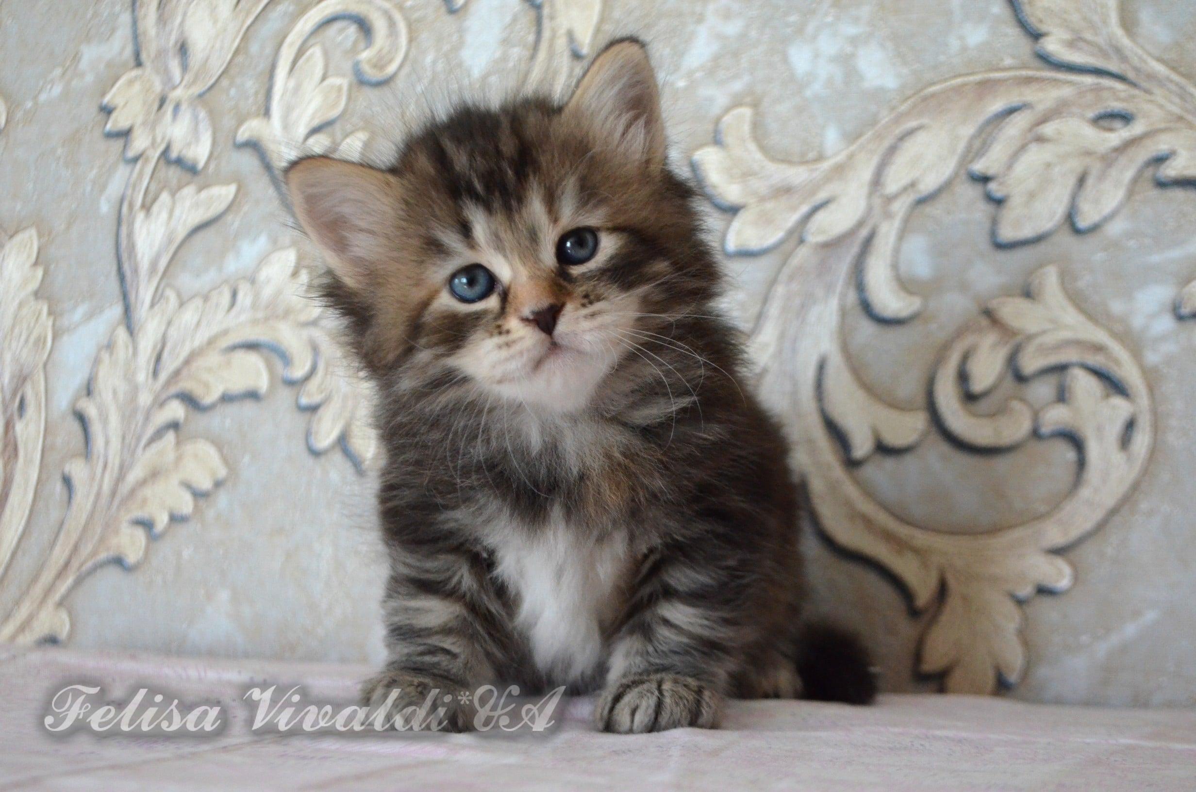 Sibirische Katze - Felisa Vivaldi*UA