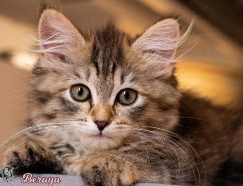 Sibirisches Kitten Beraya Royal Pink Paws verfügbar