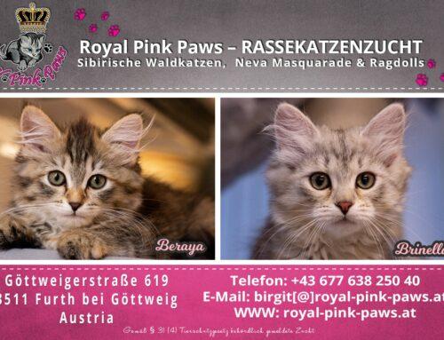 Sibirische Kitten Beraya und Brinella verfügbar