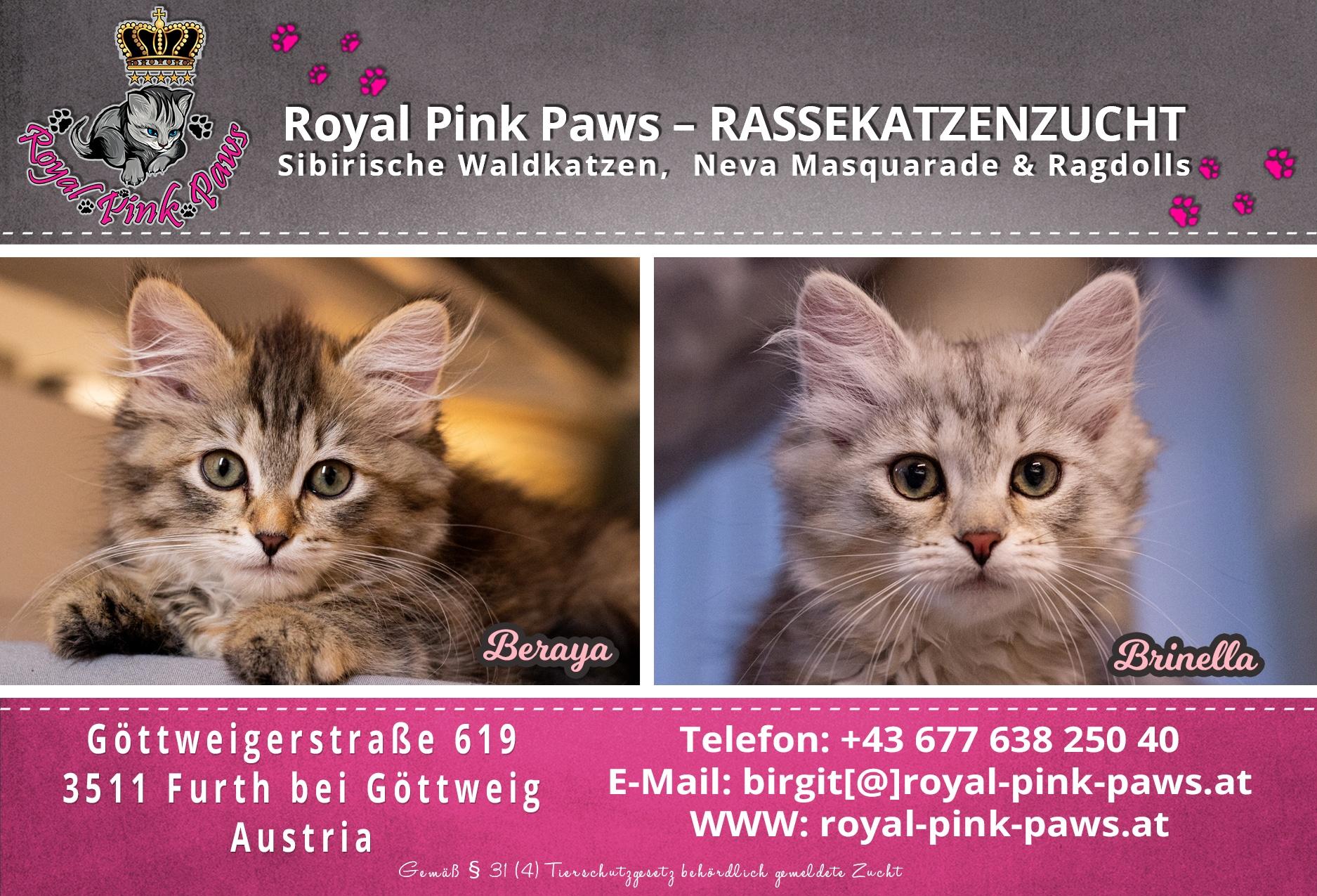 Sibirische Katze - Beraya & Brinella Royal Pink Paws