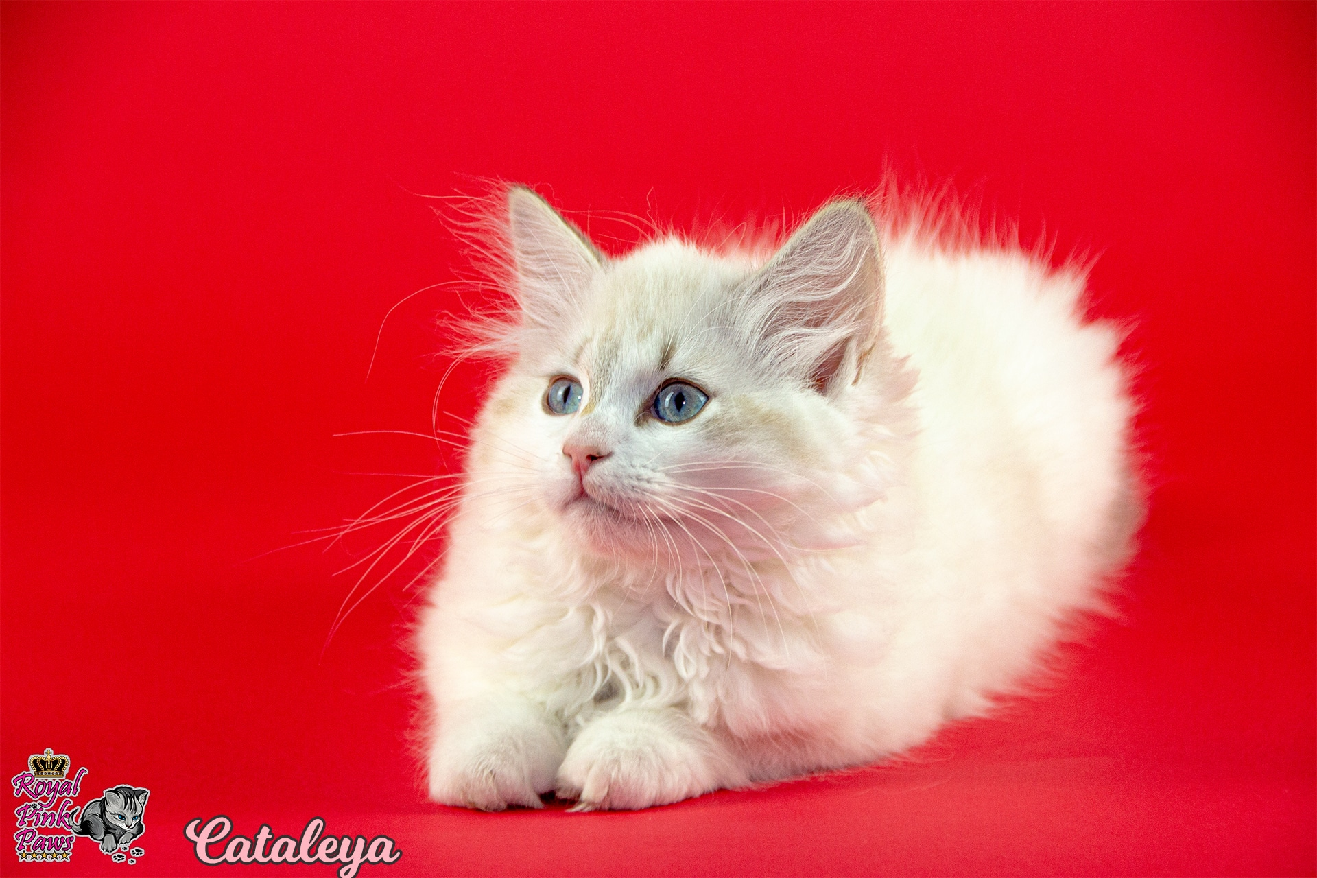 Neva Masquarade - Cataleya Royal Pink Paws