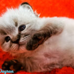 Neva Masquarade - Dayron Royal Pink Paws