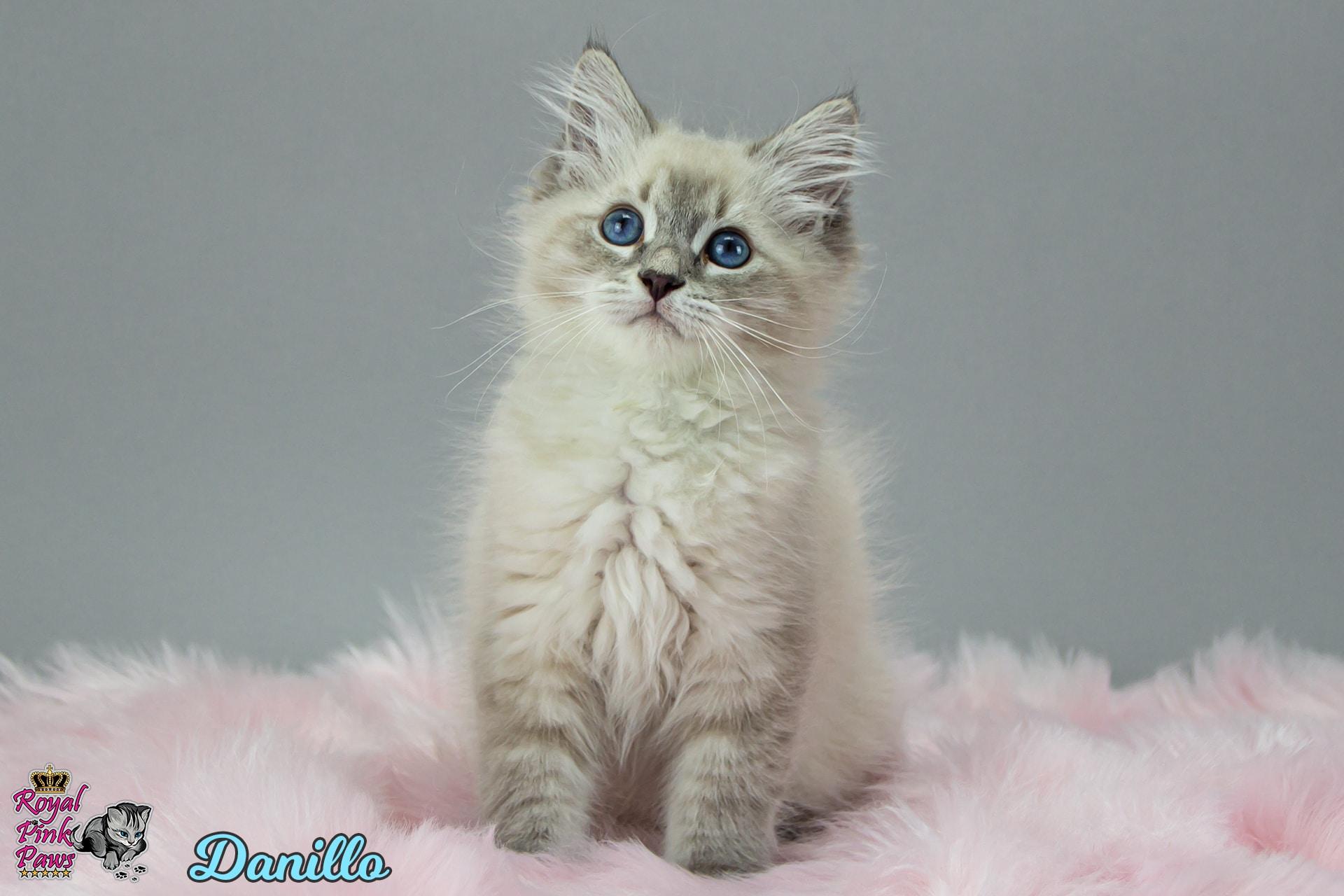 Neva Masquarade - Danillo Royal Pink Paws