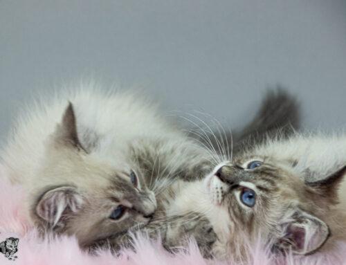Neva Masquarade Kitten Bilder Update D-Wurf