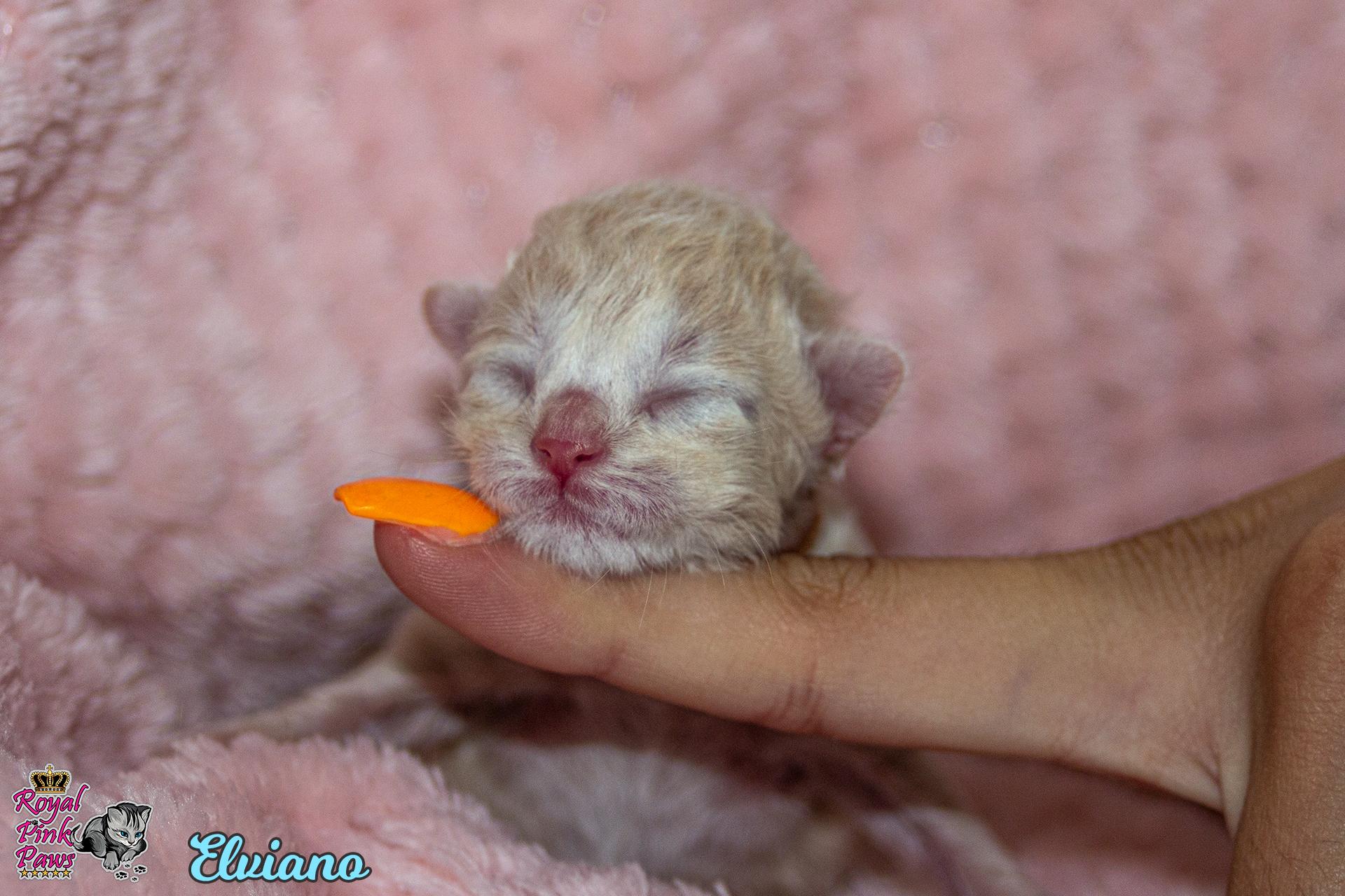 Sibirische Katze - Elviano Royal Pink Paws