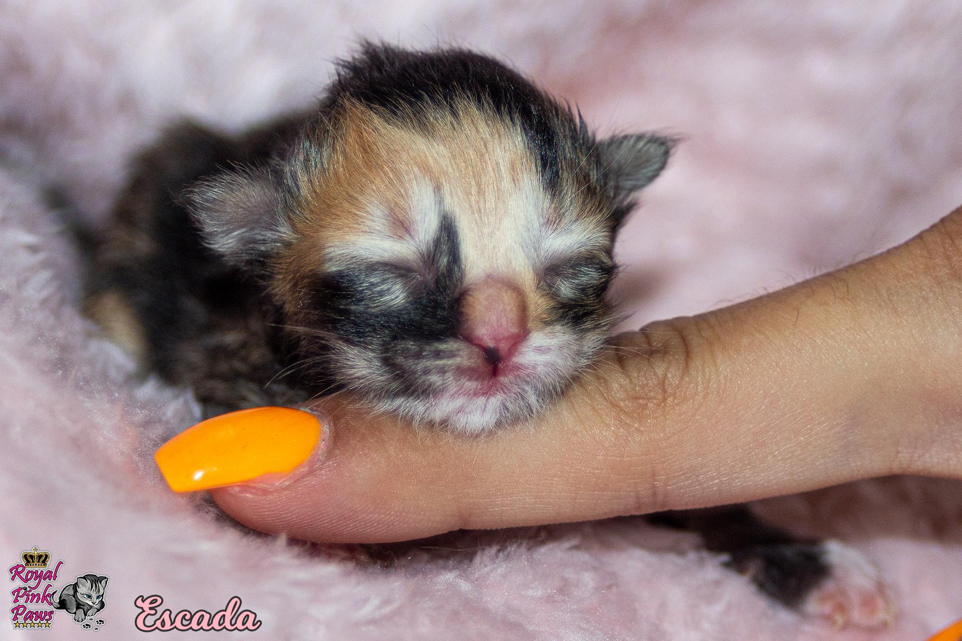 Sibirische Katze - Escada Royal Pink Paws
