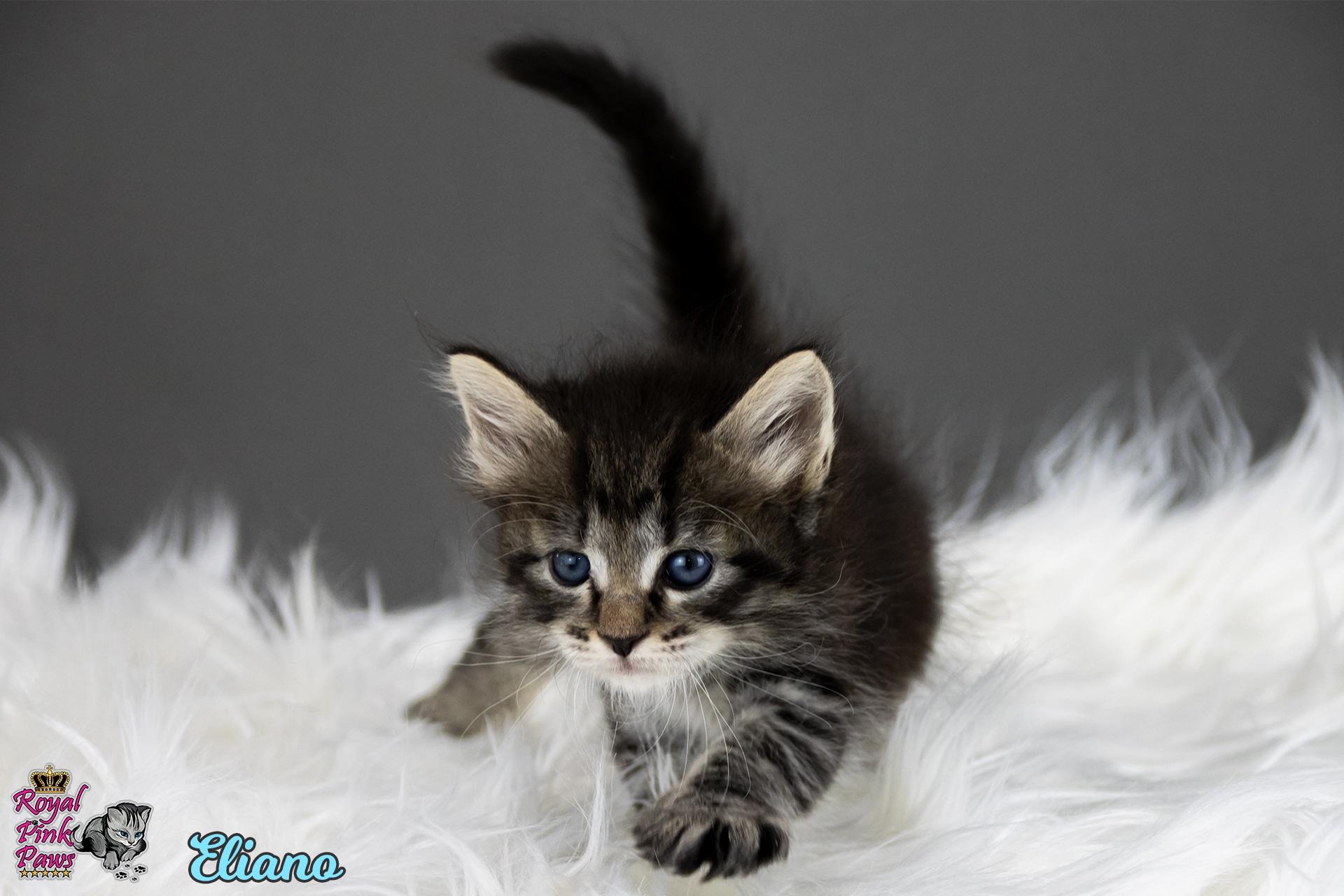 Sibirische Katze - Eliano Royal Pink Paws