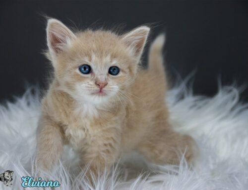 Update Sibirische Kitten Bilder vom  E-Wurf