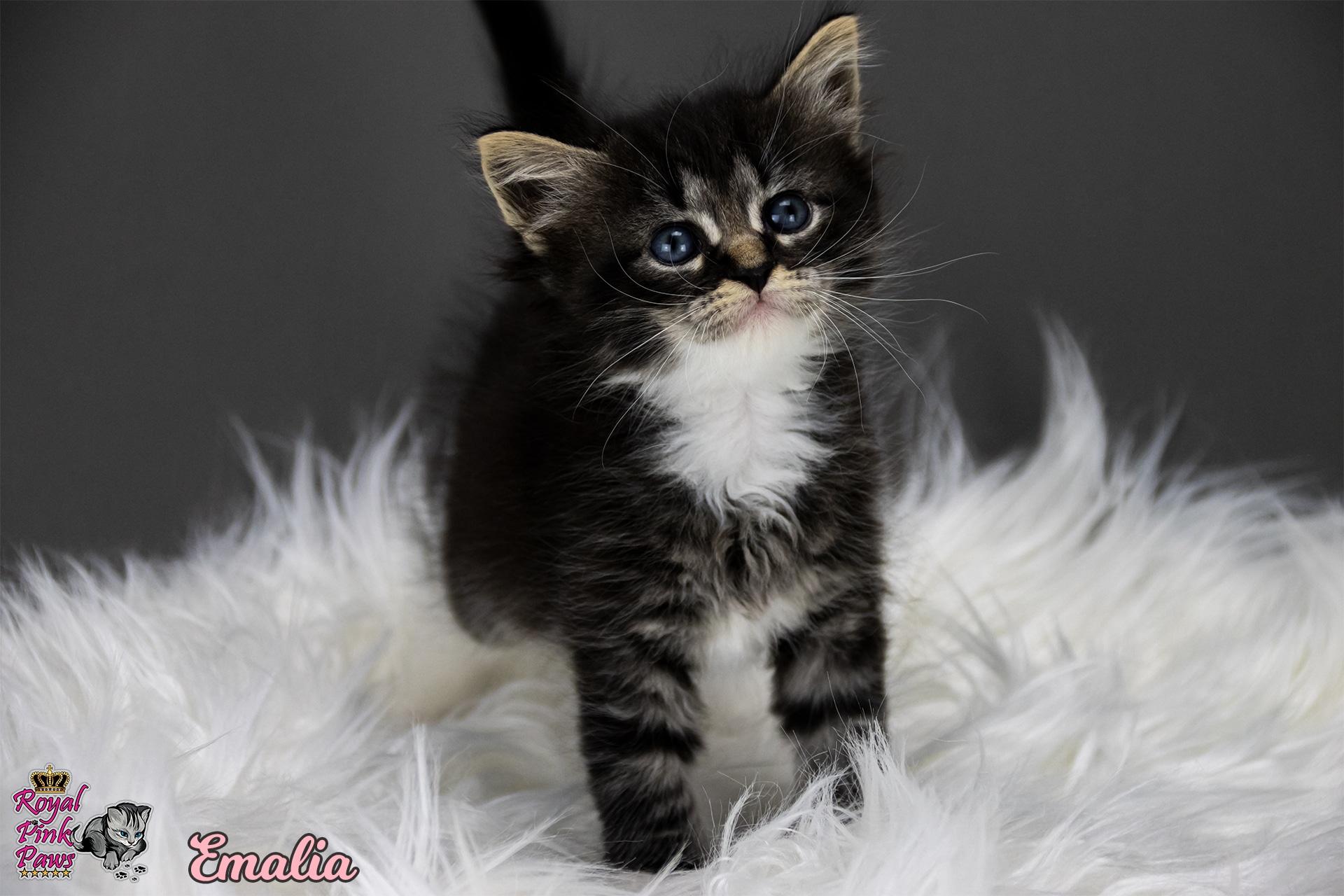 Sibirische Katze - Emalia Royal Pink Paws