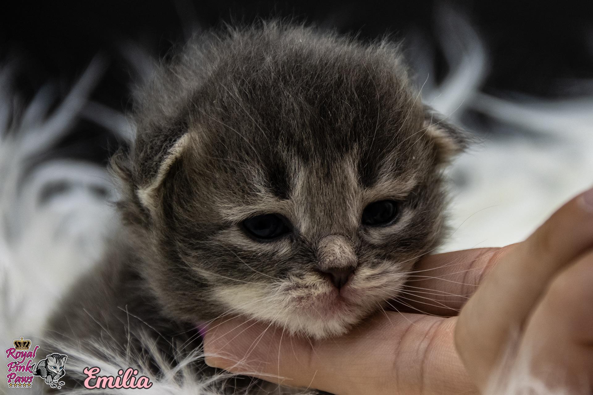 Sibirische Katze - Emilia Royal Pink Paws