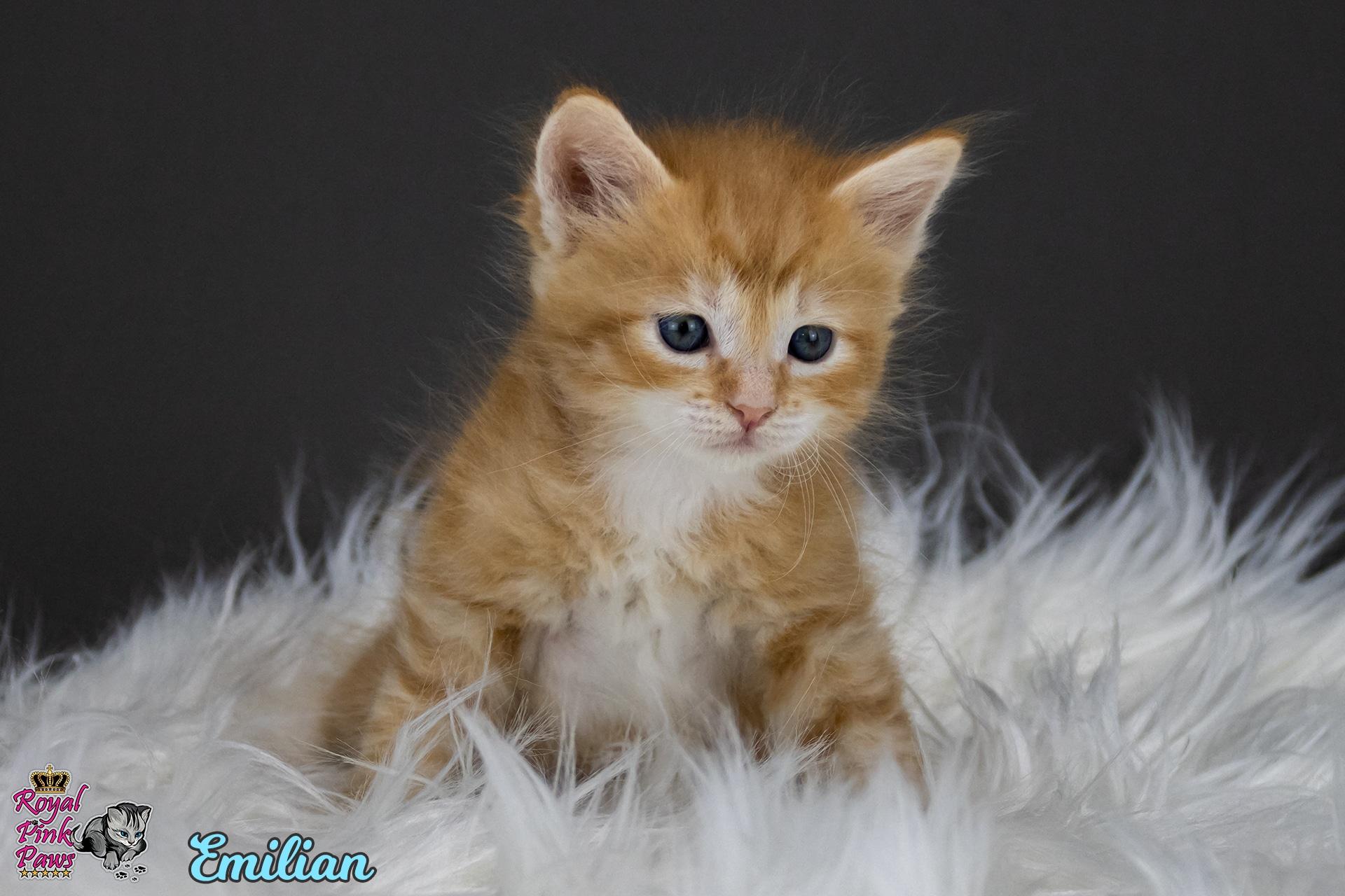 Sibirische Katze - Emilian Royal Pink Paws