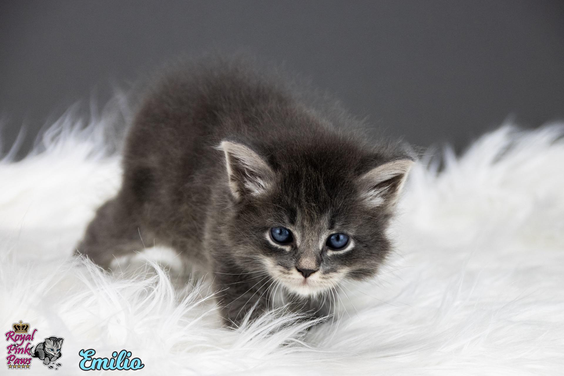 Sibirische Katze - Emilio Royal Pink Paws