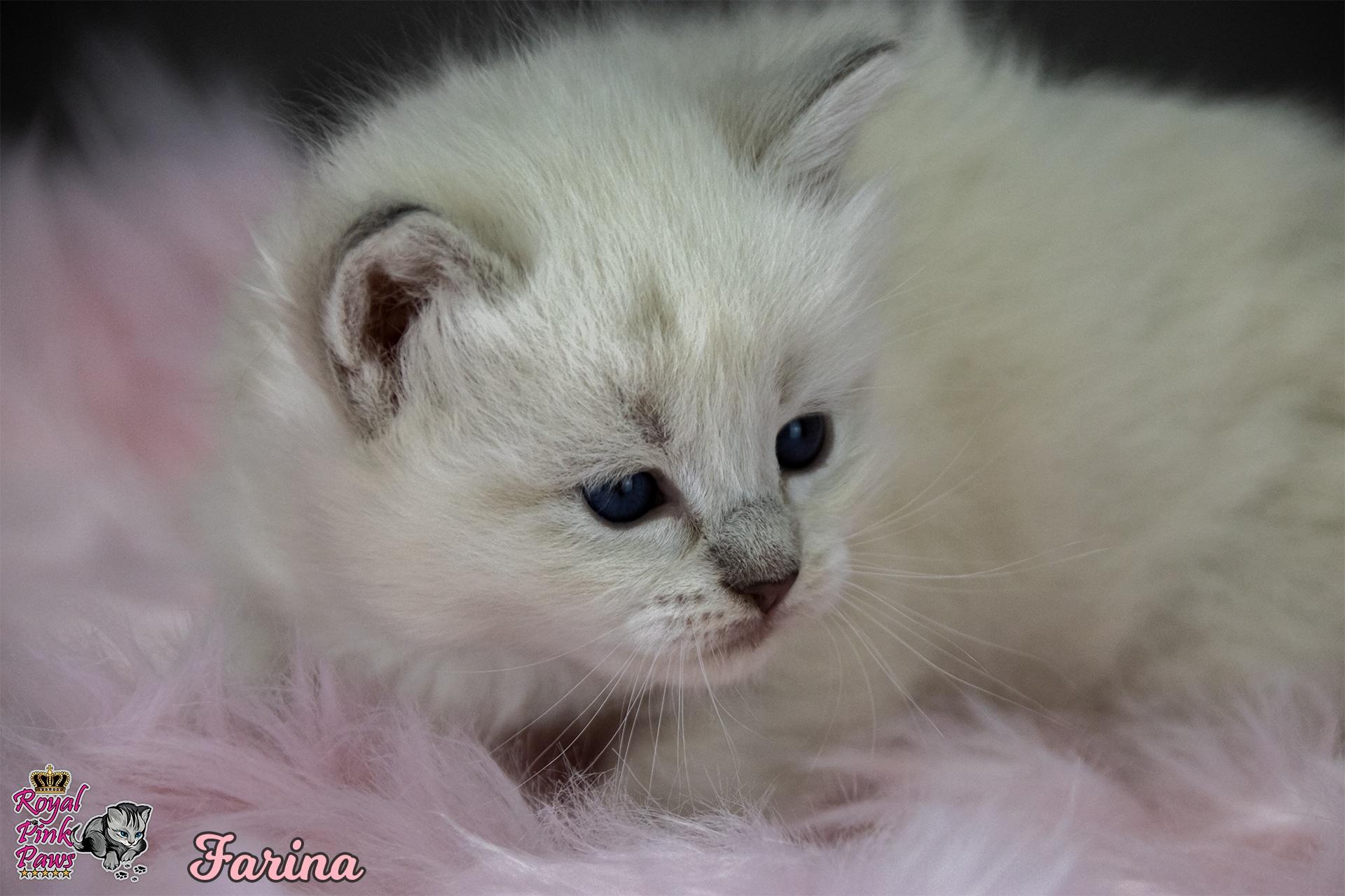 Neva Masquarade - Farina Royal Pink Paws