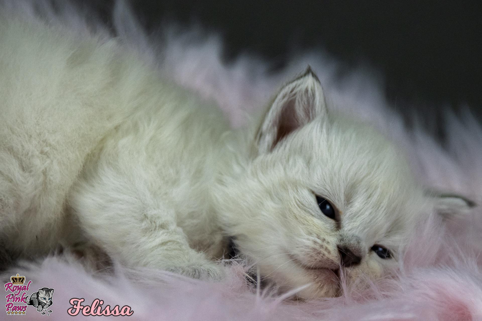 Neva Masquarade - Felissa Royal Pink Paws