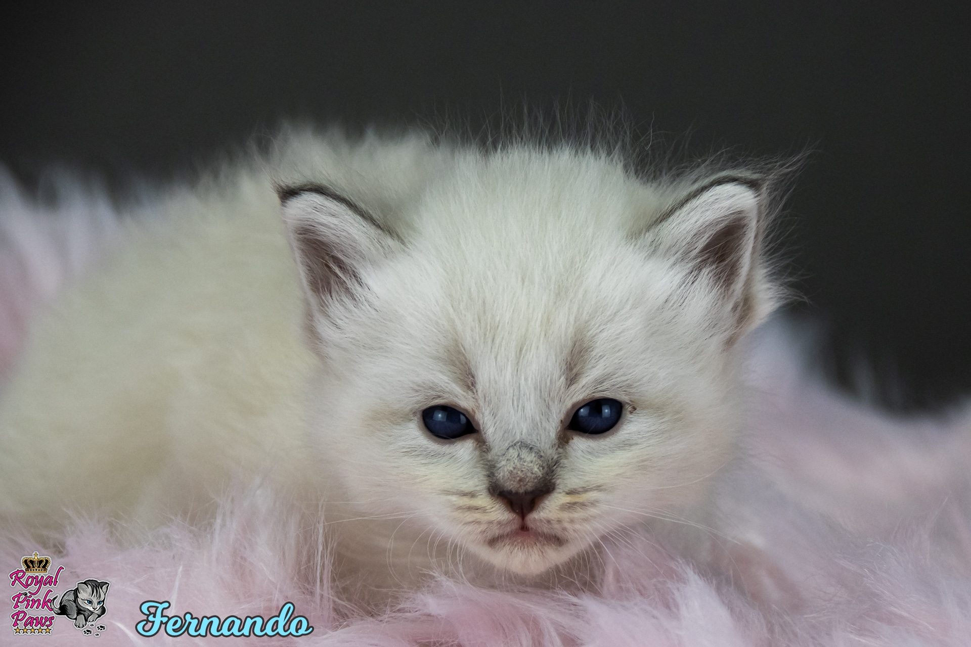 Neva Masquarade - Fernando Royal Pink Paws