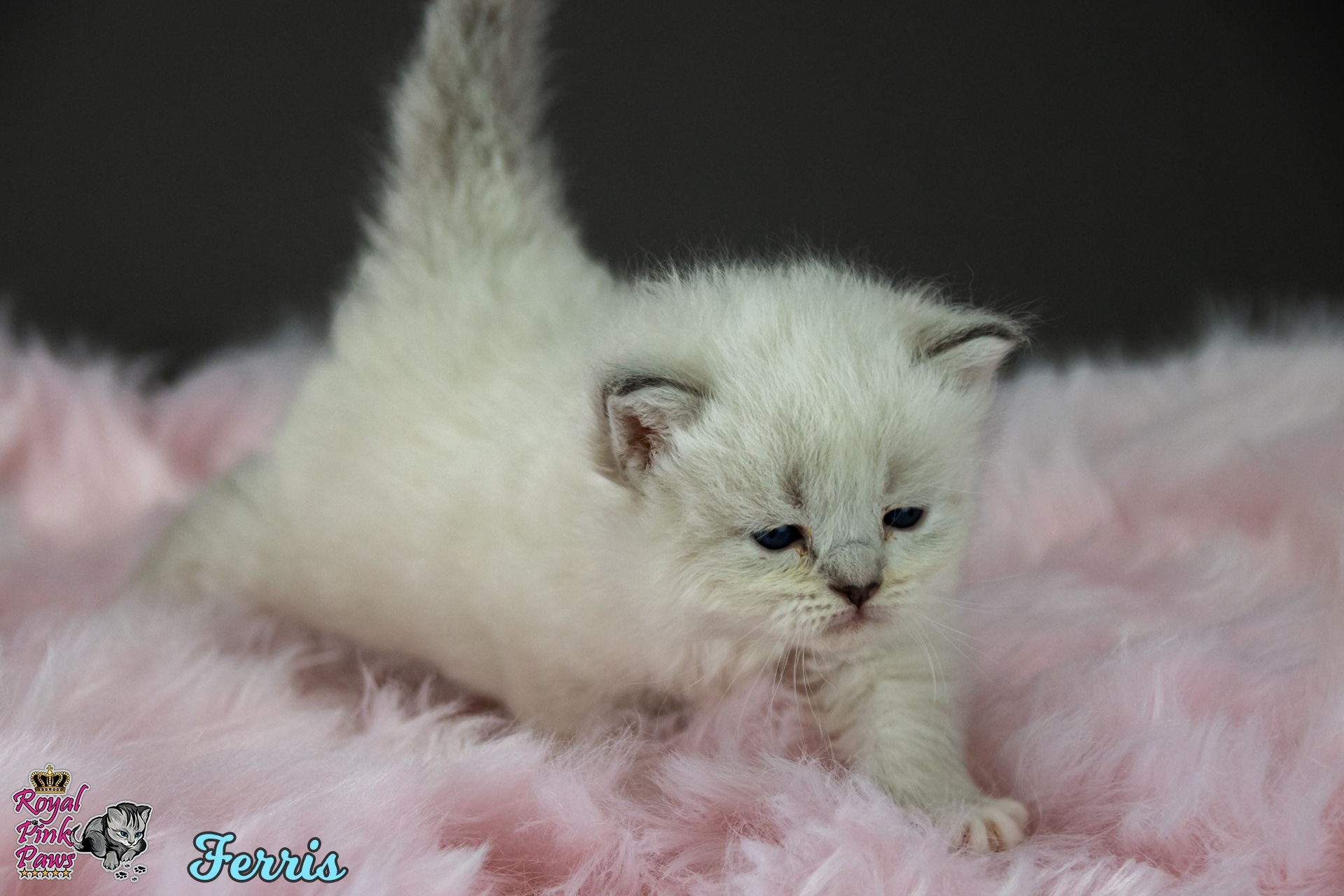 Neva Masquarade - Ferris Royal Pink Paws