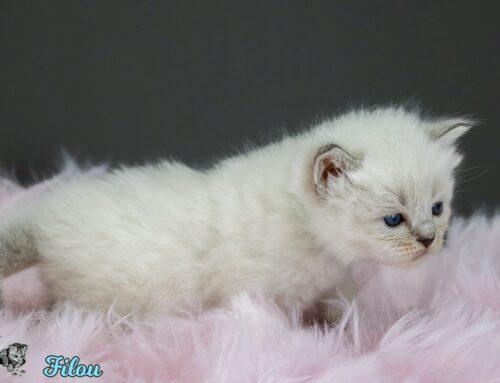 Neva Masquarade Kitten Bilder vom F-Wurf