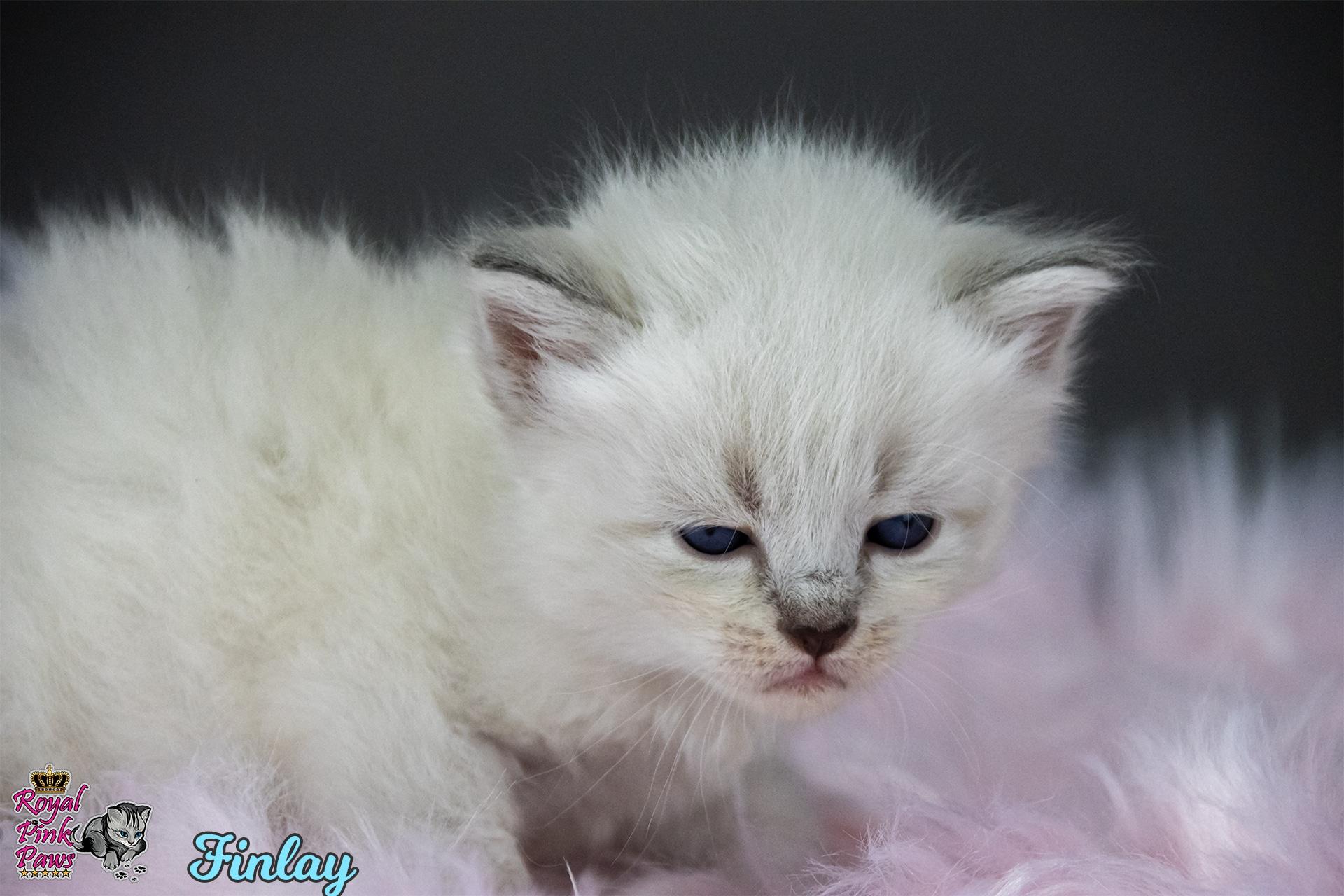 Neva Masquarade - Finlay Royal Pink Paws