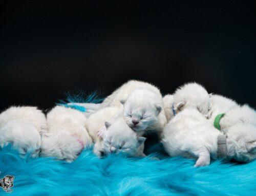 Unsere Kitten vom F-Wurf sind geboren