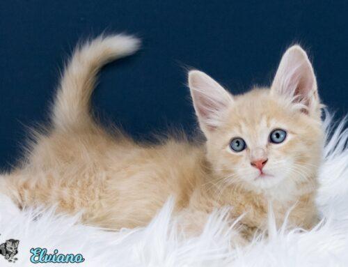 Neue Sibirische Kitten- und Katzenkindergartenbilder vom  E-Wurf