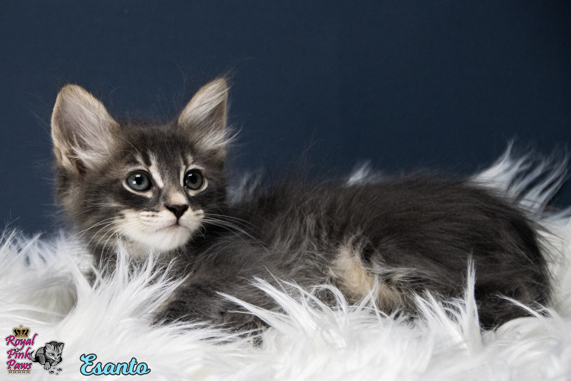 Sibirische Katze - Esanto Royal Pink Paws