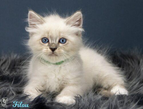 Neue Neva Masquarade Kitten- und Katzenkindergartenbilder vom F-Wurf